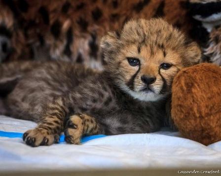 cheetah-cub-2-jpg